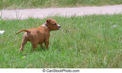 Cute american staffordshire terrier puppy dog on a grass