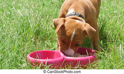 American staffordshire terrier puppy dog eating his food