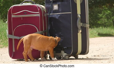 Puppy dog tied to suitcases
