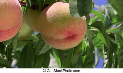 Ripe peaches on the tree branches close-up