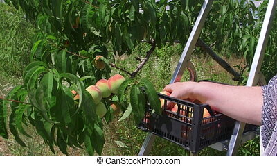 Female hand picking peaches from a tree in the orchard
