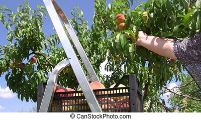 Female gardener reaping crop of peaches in the orchard -...
