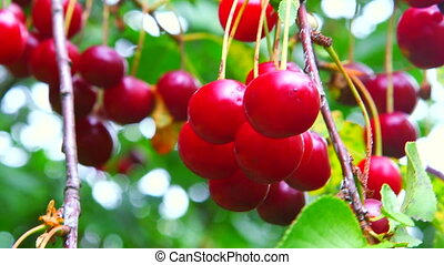 Ripe cherries branch