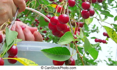 Female hands picking cherries from a tree in the orchard
