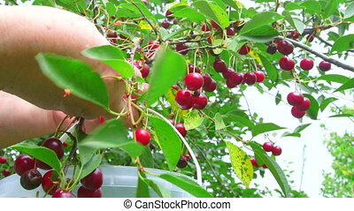 Woman picking cherry  from a tree