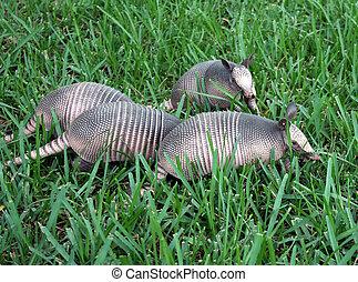 Armadillo Babies - 4 young nine banded armadillos digging...