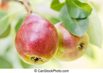 Ripe pears on a tree outdoors, close-up.