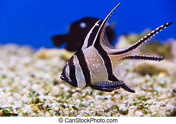 Apogon - Photo of aquarium fish apogon in blue water