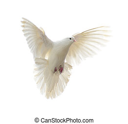 white dove - Flying white dove isolated at white