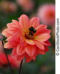 Bumble Bee on Pink Dahlia - A Bumble Bee feeding on the...