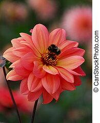 bumble, abelha, Cor-de-rosa, Dahlia