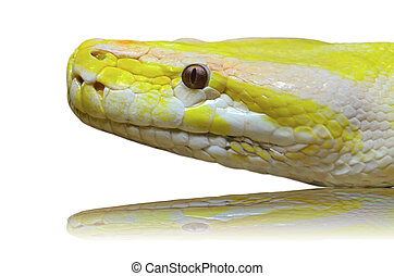 Head albino python snake isolated on white - Close up of a...