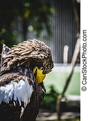 Spanish golden eagle in a medieval fair raptors