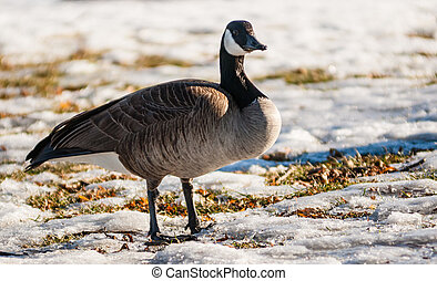 Single Canada goose on frozen grass - Single Canada goose...