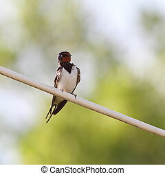 barn swallow on electric wire - barn swallow hirundo rustica...
