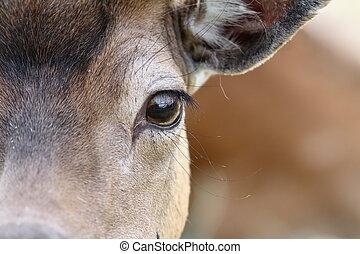 eye of a fallow deer