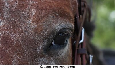 Bay horse eye close up, outdoors