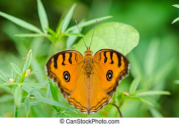 Peacock pansy butterfly (Junonia almana) on top of a bush
