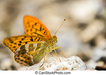 Butterfly - Silver-washed Fritillary (Argynnis paphia)...