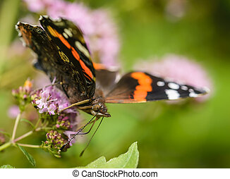 Admiral - Close up of Red Admiral butterfly (Vanessa...