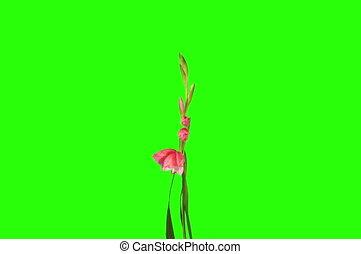 Blooming pink gladiolus flower - 4K Blooming pink gladiolus...