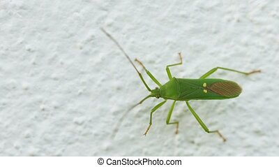 Green shield bug on the wall close-up. Insects of Thailand