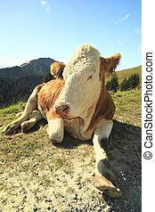 vaca, Sentado