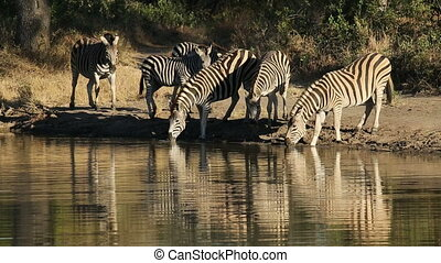 Plains Zebras at waterhole - Plains (Burchell%u2019s) zebras...