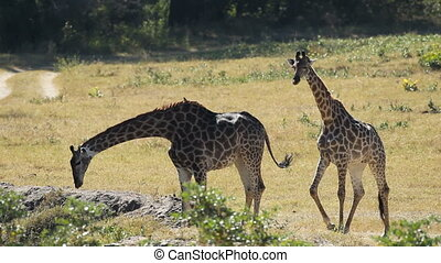 Giraffes at waterhole - Two giraffes and impala antelopes at...