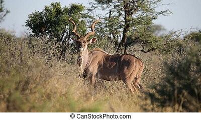 Kudu antelope - Big male kudu antelope Tragelaphus...