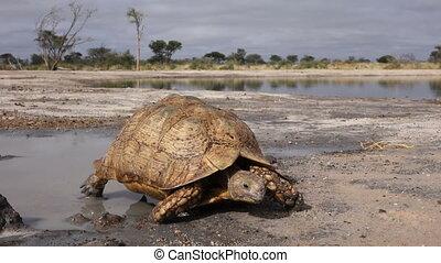 Leopard tortoise - A leopard tortoise (Stigmochelys...