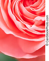 Abstract macro shot of beautiful pink rose flower.  Floral backg