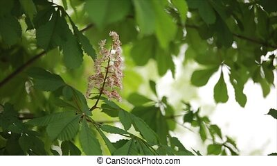rustle of leaves on trees and flowering chestnut