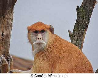 Monkey - the hussar - The monkey - the hussar sits on a tree...