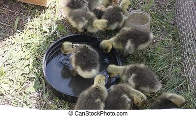 ducklings drinking water