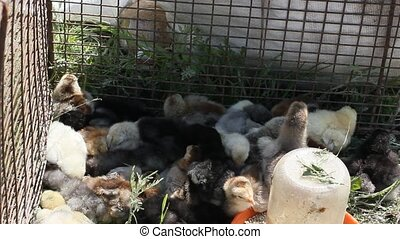 a lot of Chickens in farm