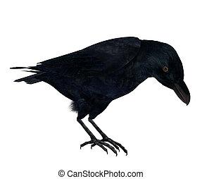 corneille, noir
