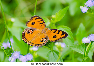 Peacock pansy butterfly Junonia almana on top of a bush