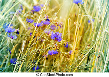 cornflower flower blooms and wheat ears in early morning sun...