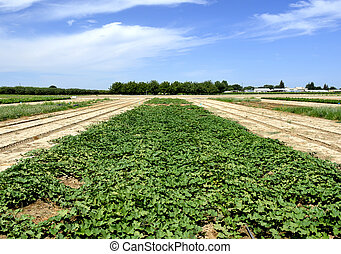 Sweet potato plant with green leaves on the field.
