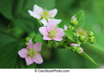 Wild Blackberry - Detail of a flower of wild elmleaf...