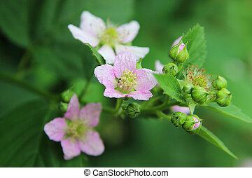 Wild Blackberry - Detail of a flower of wild elmleaf...