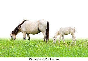 Horse mare and foal in grass on white background - Horse...
