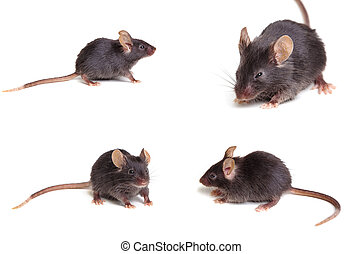 Black mouse - Photo of black mouse in different positions,...