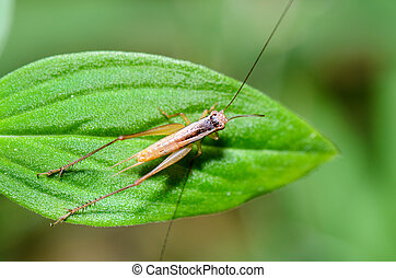 Brown Cricket (insect) - Clpse up top view brown Cricket...
