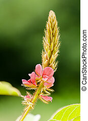 Small panicle of pink flower in meadow - Close up small...
