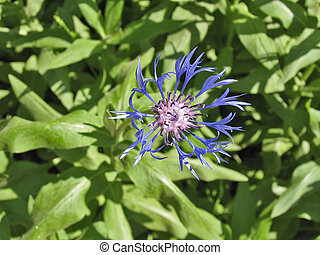 Centaurea - Latin name Centaurea is translated as a hundred...