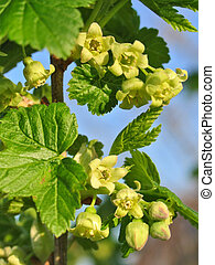 Flowering currant - Pretty little flowers of currant in...