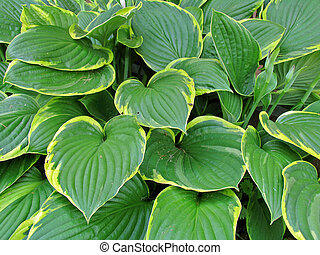 Hosta - Very beautiful summer plant with the large leaves...