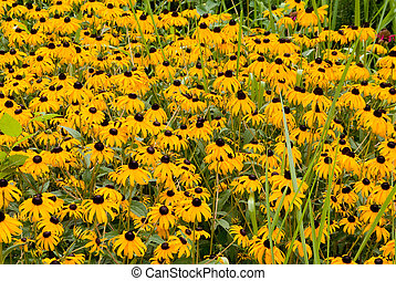 Blackeyed Susans - A common wild flower known as a Blackeyed...